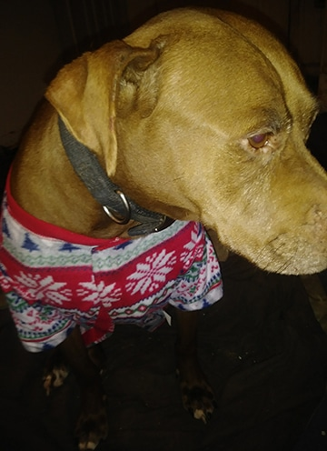 Caramel in dog pajamas