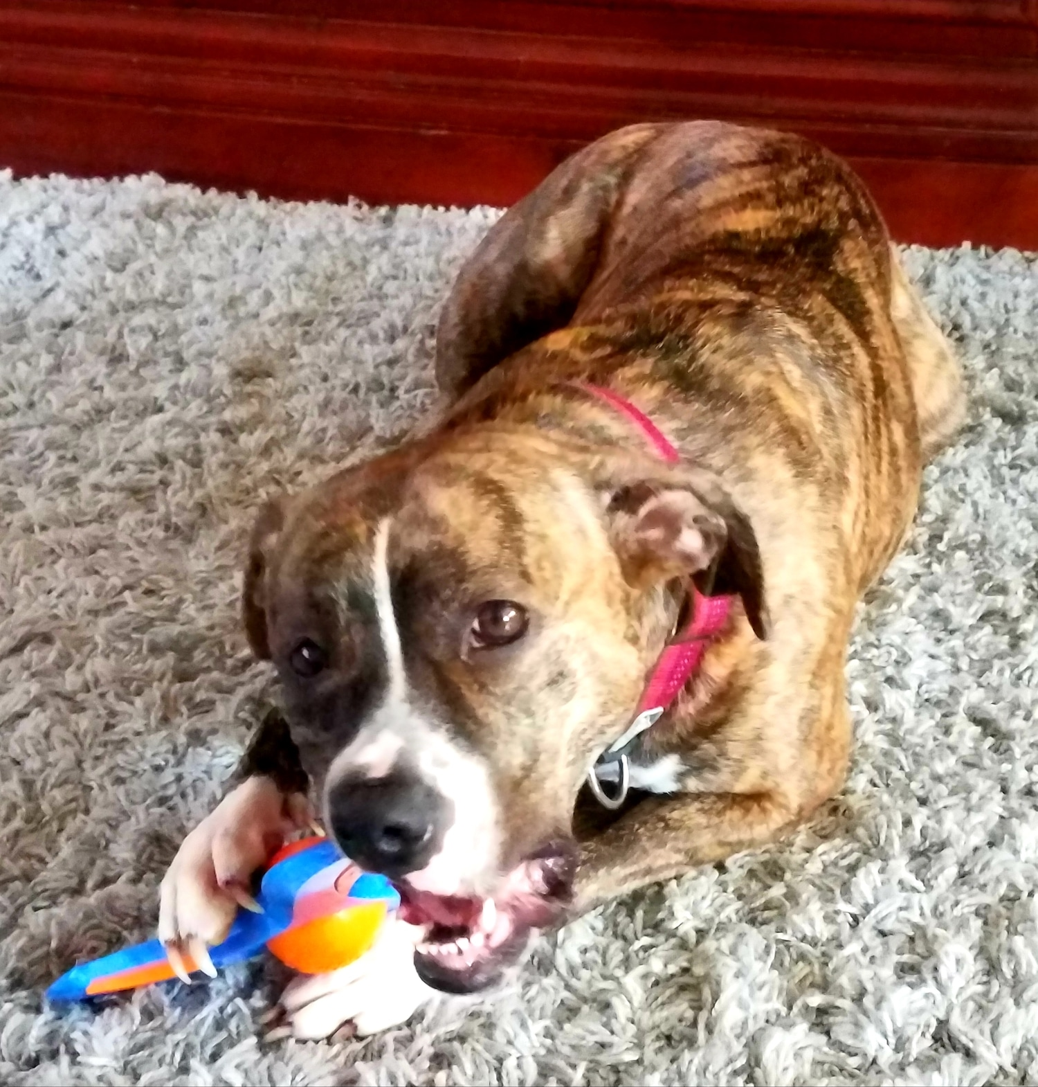 We put another dog toy to the Meadow test — see how it stacks up